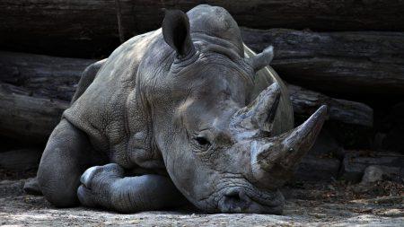Nashorn atmet durch
