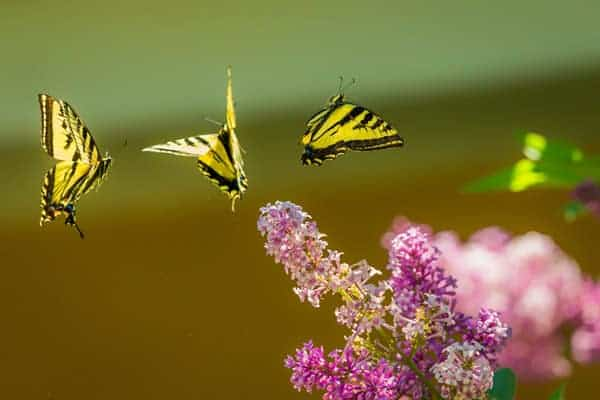 fliegender Schmetterling, Befreiung